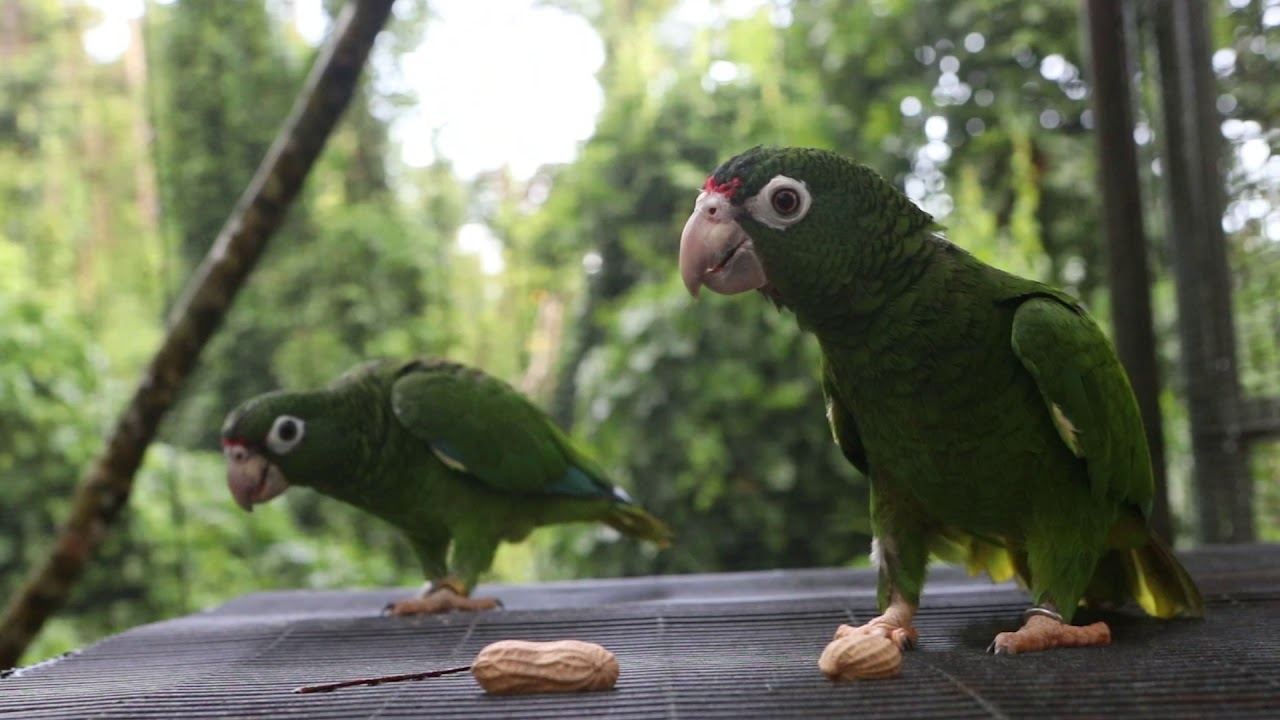 Two Puerto Rican parrots sitting on a ledge in a wooded area.