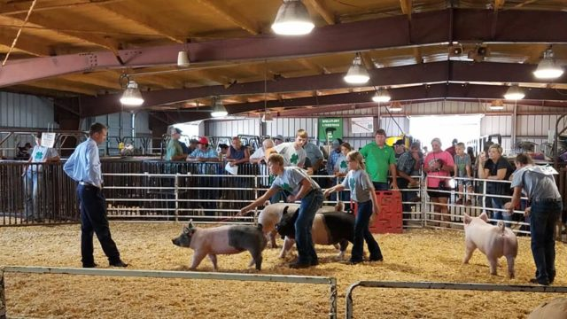 Four young 4-H members showcase their pigs to a judge at the Lincoln County Fair.