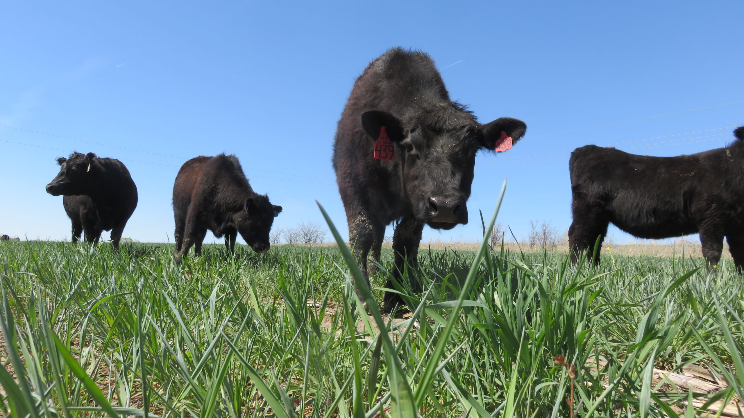 Image of cow looking into the camera with three other cows nearby in the background