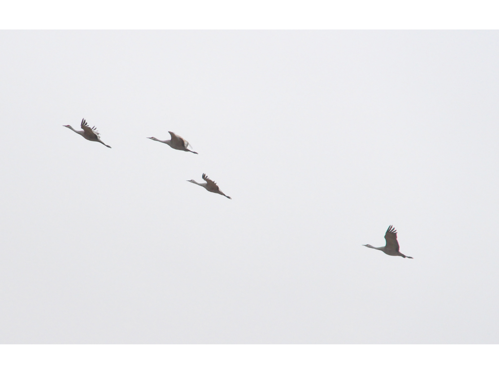 Aeriel Frey 1 - Nebraska's great crane migration exemplifies Mother Earth's bounty