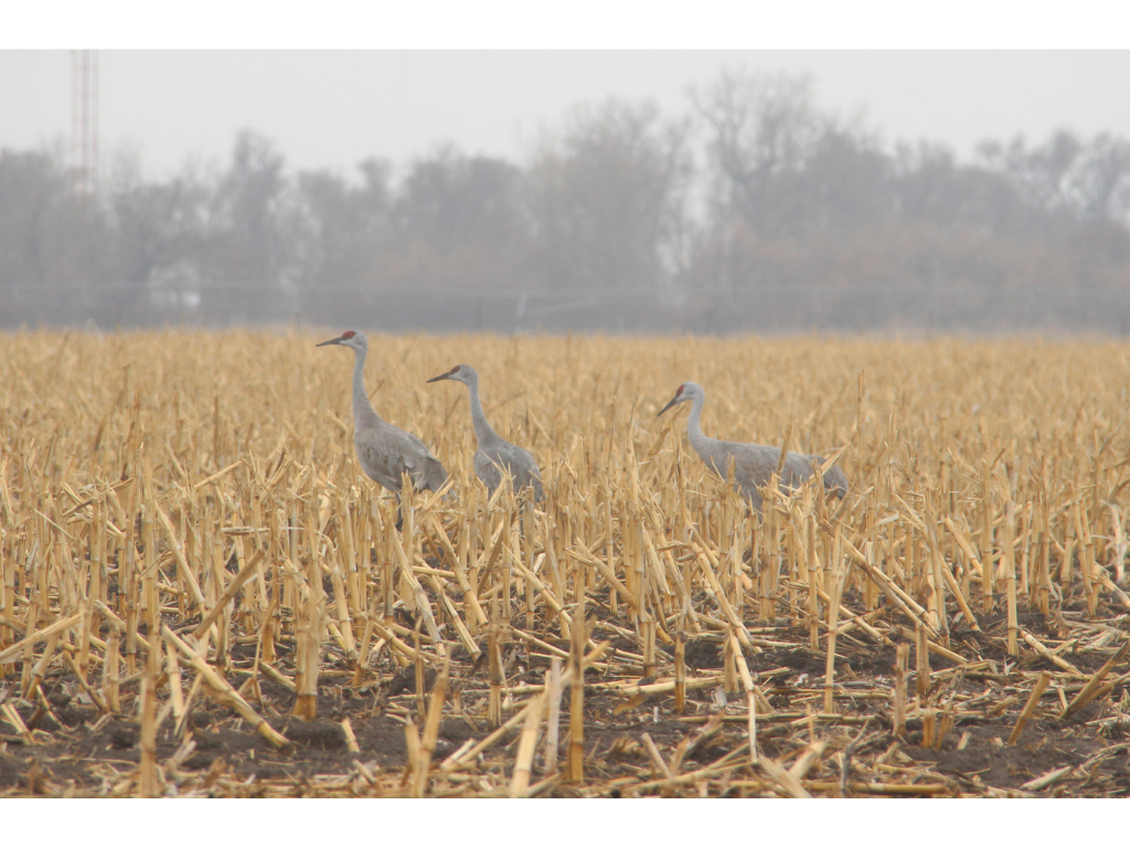 Aeriel Frey 3 - Nebraska's great crane migration exemplifies Mother Earth's bounty