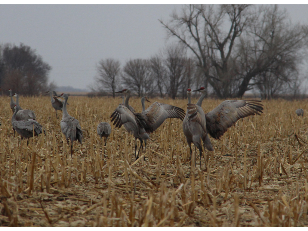 Aeriel Frey 4 - Nebraska's great crane migration exemplifies Mother Earth's bounty