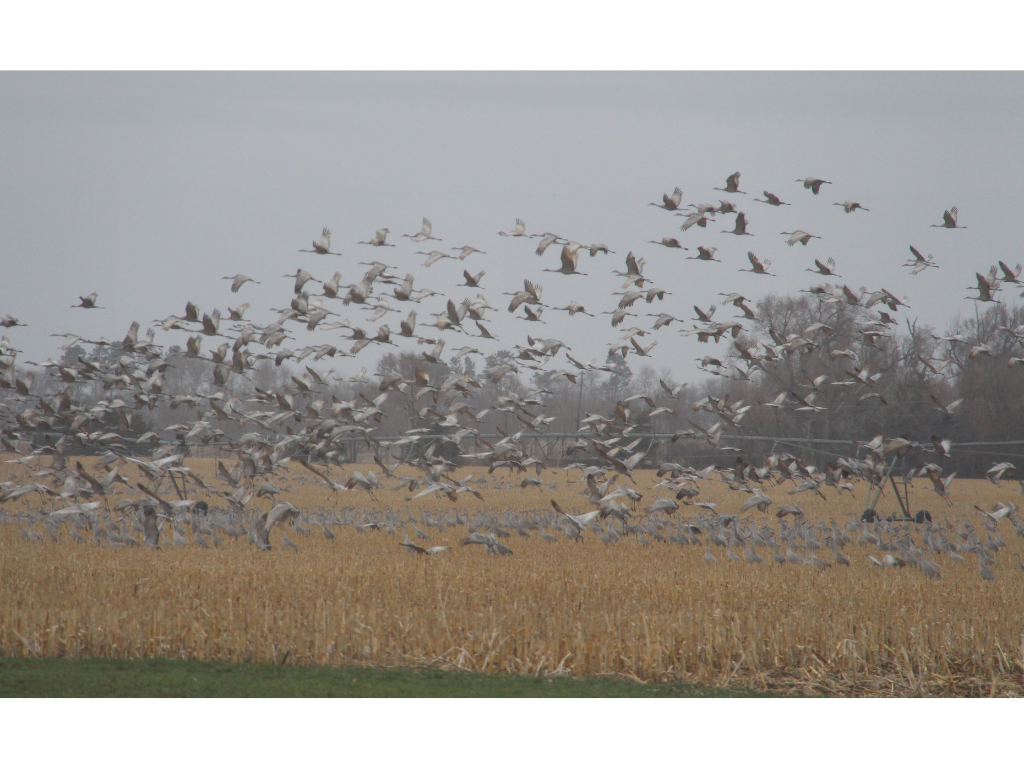 A large group of Sandhill Cranes fly across a cornfield.