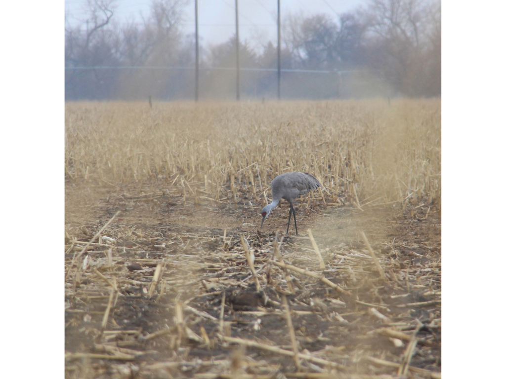 Aeriel Frey 8 - Nebraska's great crane migration exemplifies Mother Earth's bounty