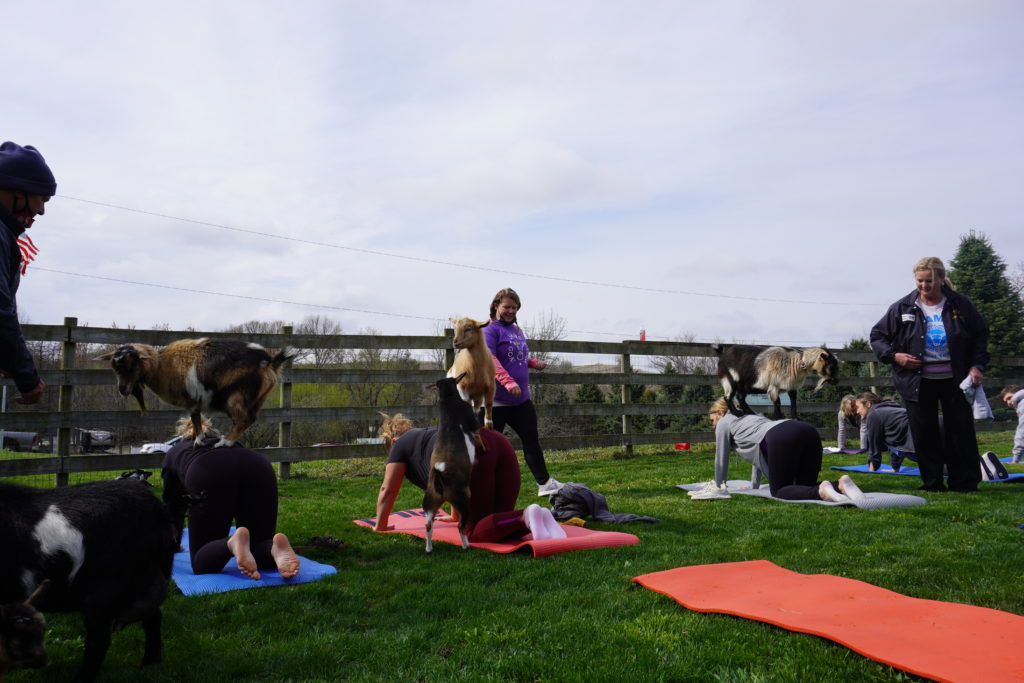 DSC00220 1024x683 - JAMS Goat Yoga jumped into their first class of spring