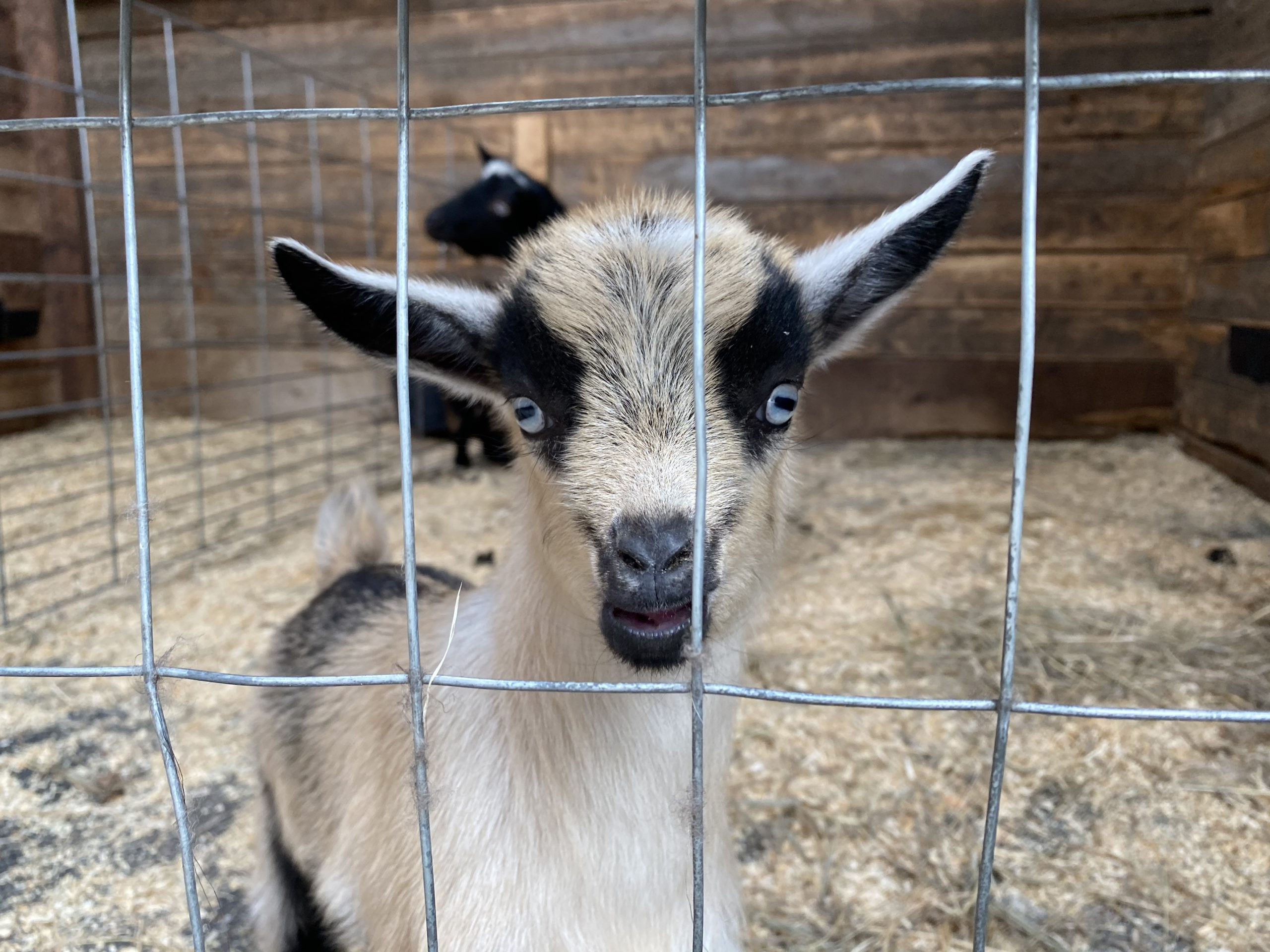 Three-week-old baby goat inside the JAMS barn that practiced in its first yoga class on Saturday.